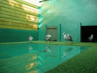 Gulls in an aquapen